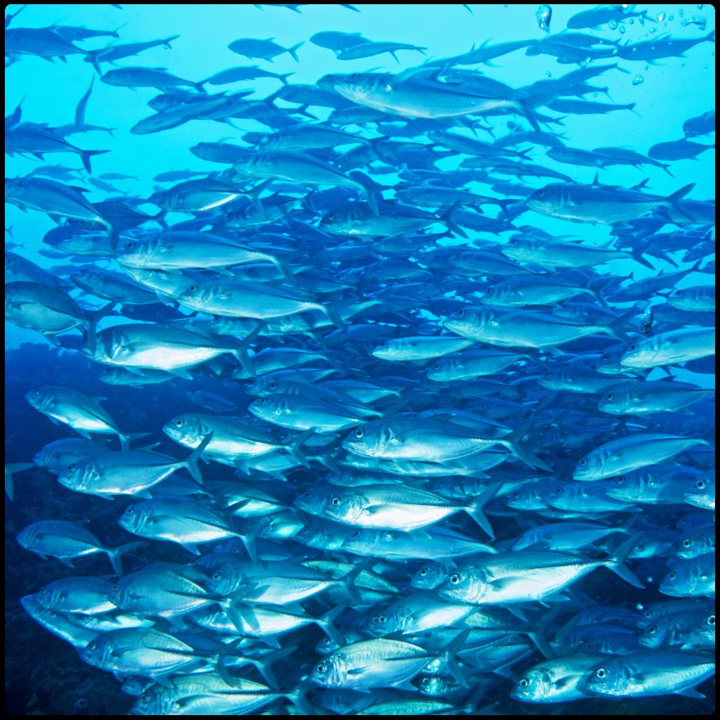 ボホール・バリカサグ島の海の中 ギンガメアジの群れ