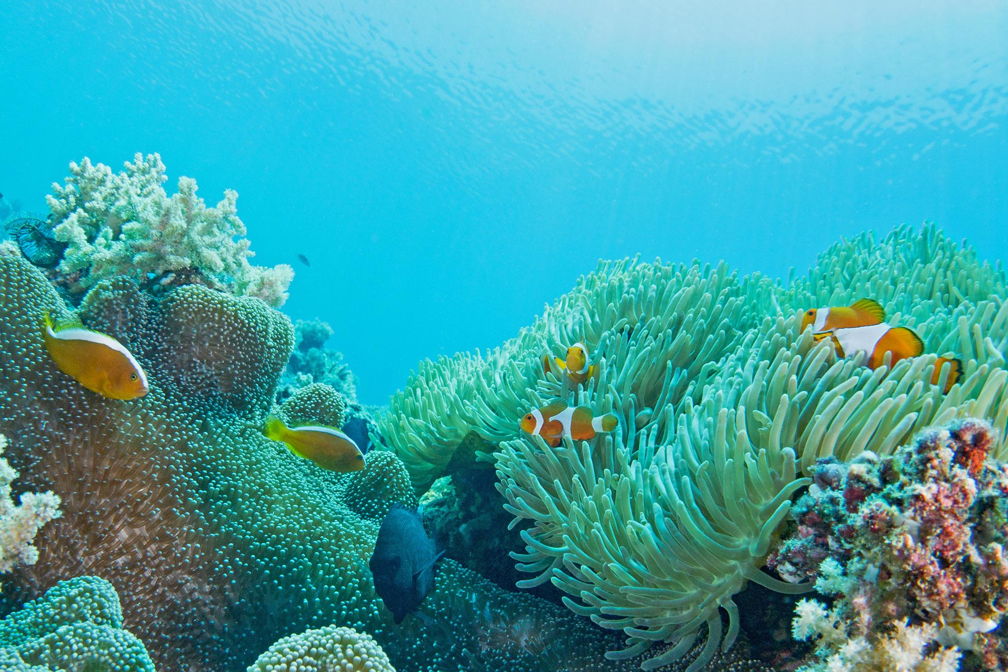プエルトガレラの海の中、カクレクマノミとセジロクマノミ