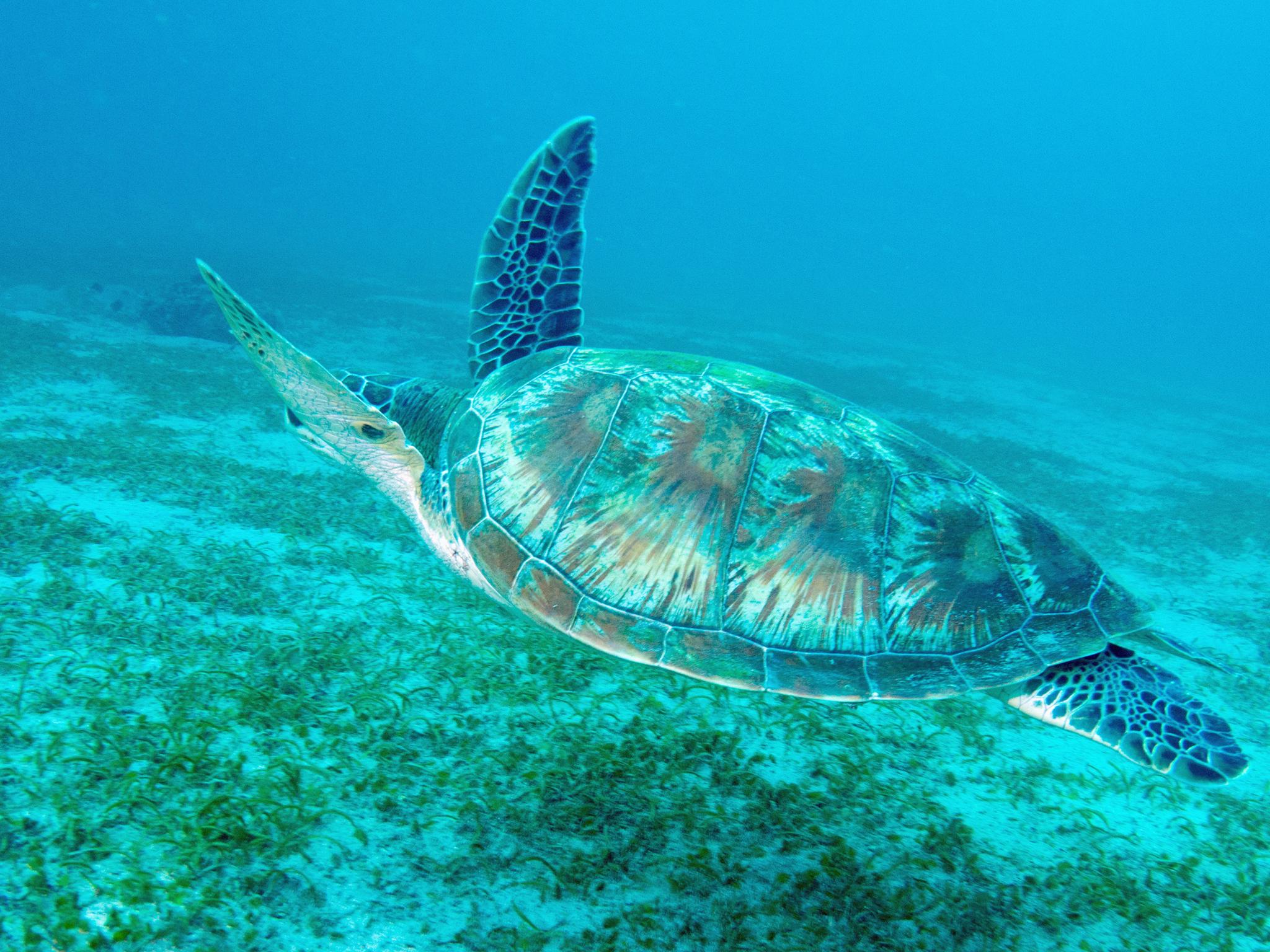 プエルトガレラの海の中 カメ