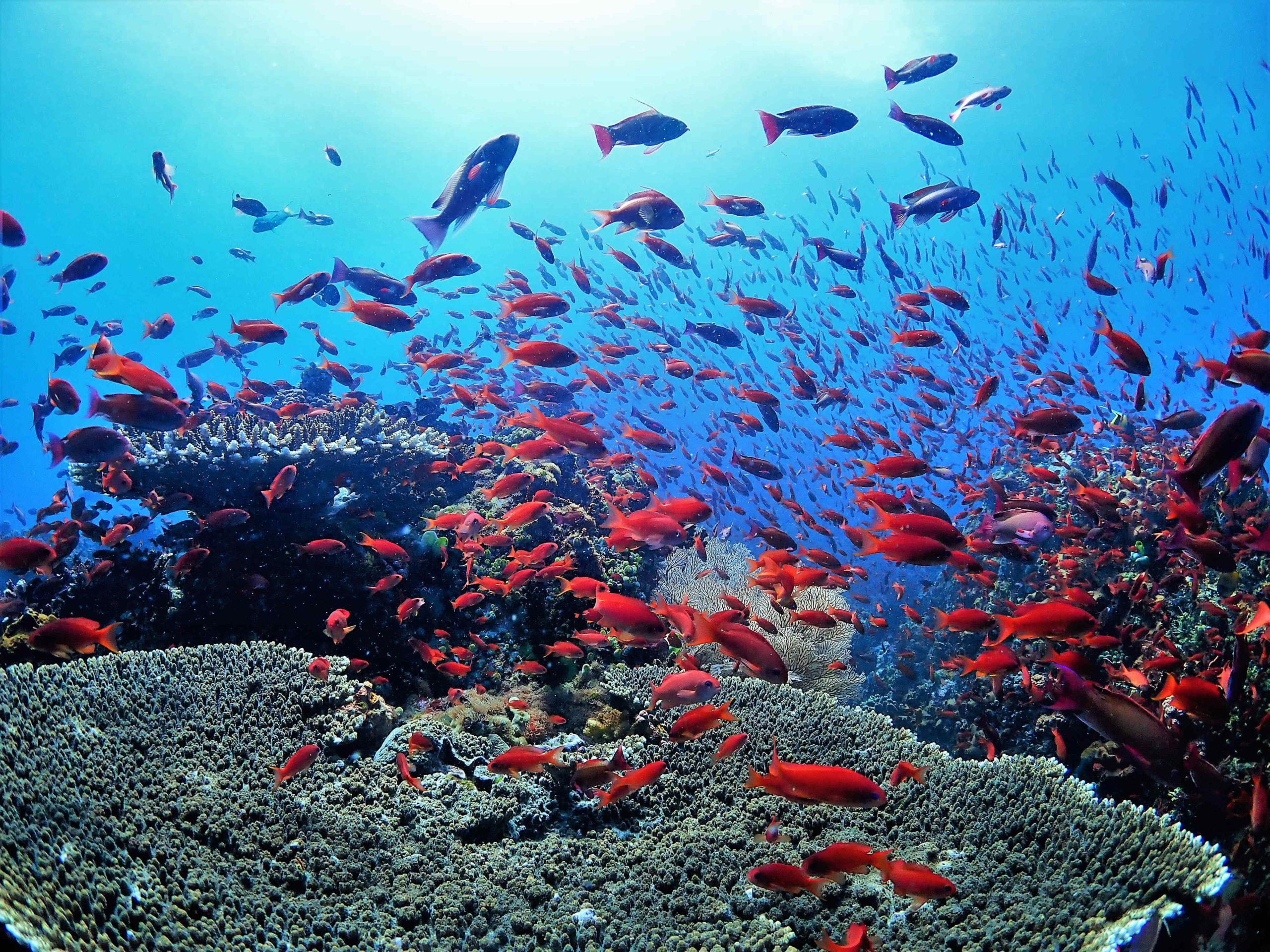 プエルトガレラの海の中、キンギョハナダイと珊瑚礁
