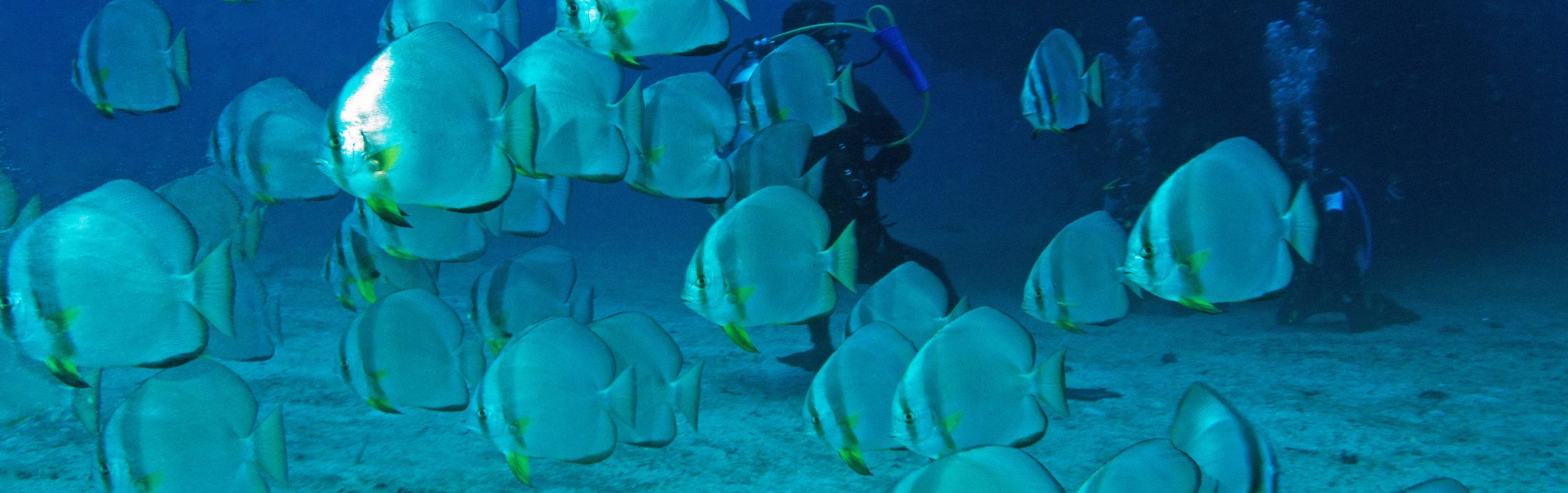 プエルトガレラの海の中 ツバメウオの群れ