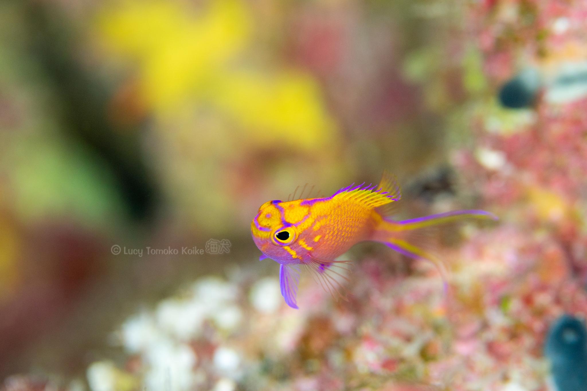 ハナゴンベの幼魚@久米島