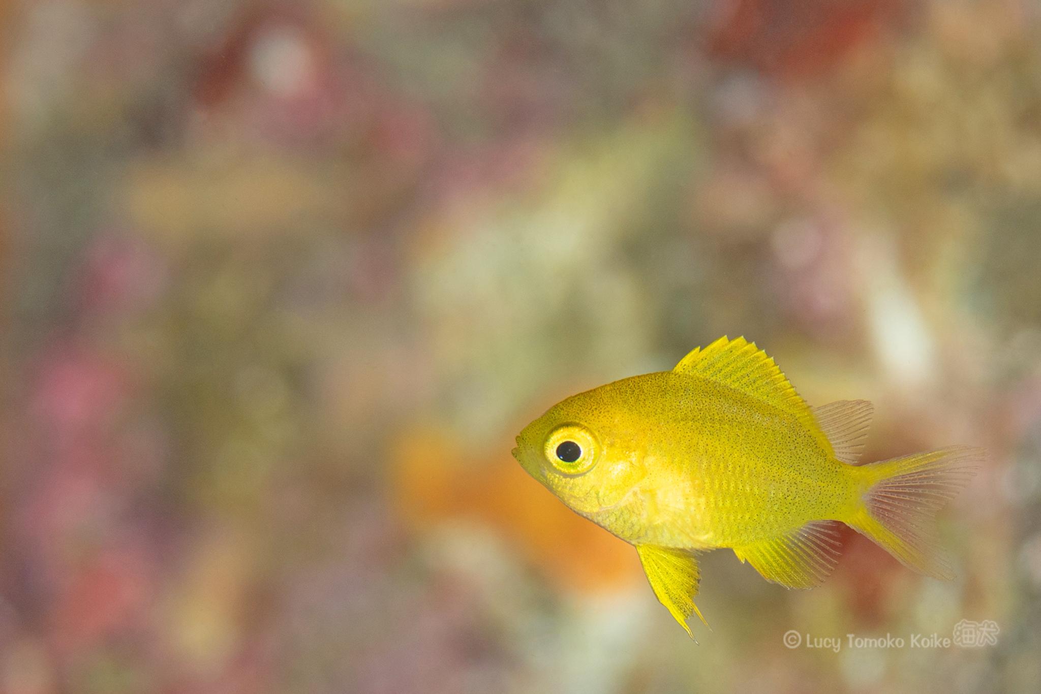 カラフルな背景は楽しい|コガネスズメダイの幼魚