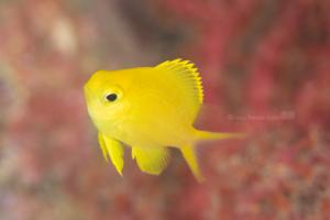 赤い背景に黄色が綺麗|コガネスズメダイの幼魚