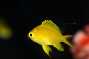 黒バックに黄色が映える|コガネスズメダイの幼魚